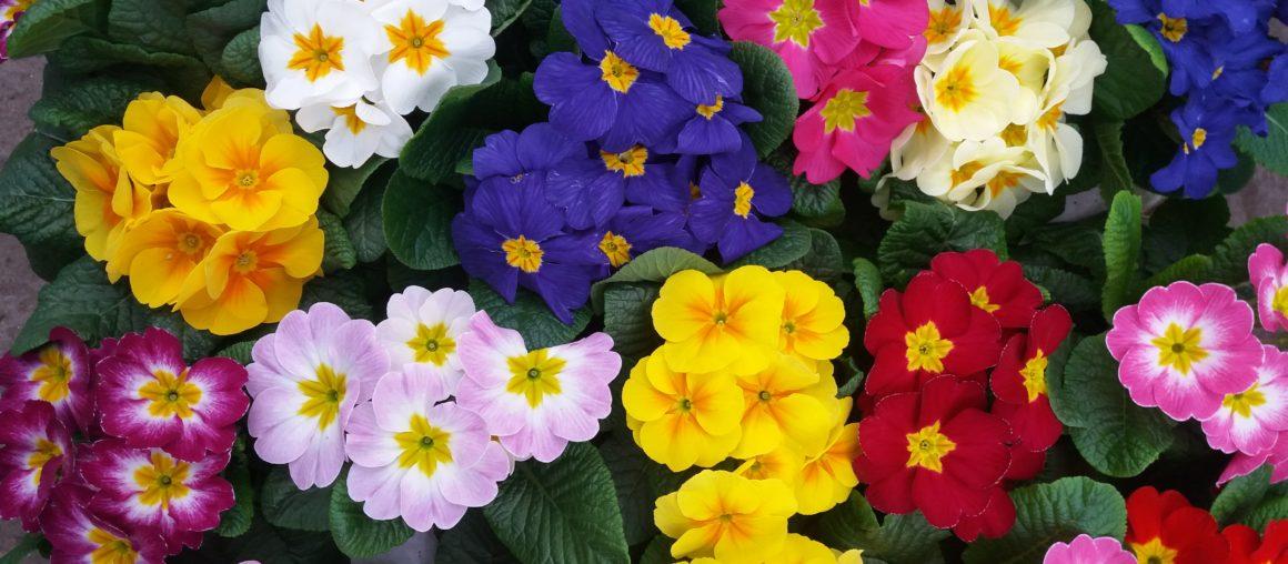 Petrklíče (Primule)